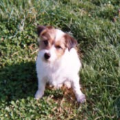 A Jack Russell Terrier sitting on grass.