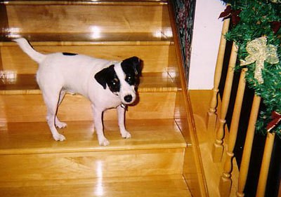 A Jack Russell terrier on a wooden staircase.