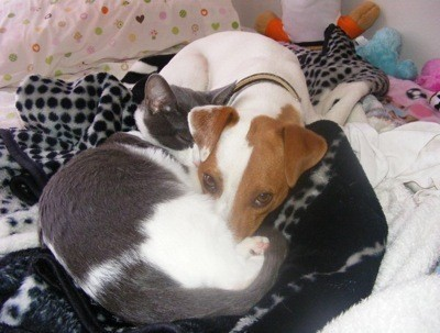 Buddy Jack Russell Terrier