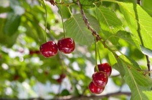 growing a cherry tree from a pit.