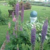 lupine in yard