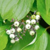 Growing a Red Osier Dogwood