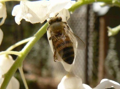 bee on a wisteria