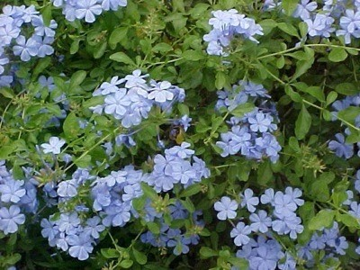 Growing A Plumbago Thriftyfun