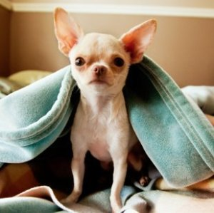 Small dog under blanket on bed