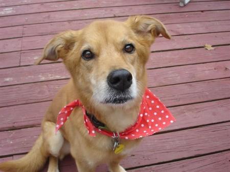 Maggie (Golden Retriever Mix) on a wooden deck