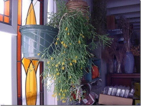 """Stalky green plant with yellow """"flowers"""" on the tips."""