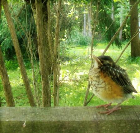 Sleepy Robin (Western NY)