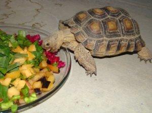 Tortoise Eating Fresh Fruit