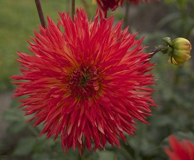 Beautiful red dahlias.