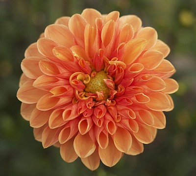 Beautiful orange dahlia.