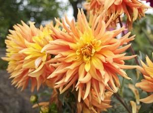 yellow and orange dahlias.