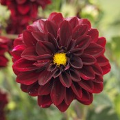 Dark red dahlias.