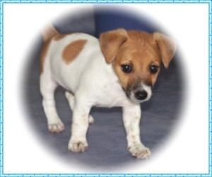 A Jack Russell puppy with a white vignette.