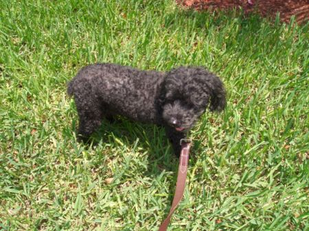 Small black poodle.