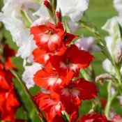 Growing Gladiolus