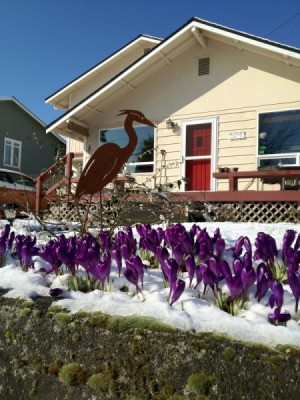 Snow melting away from crocuses