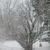 Snowy Tree (Brockville, Ontario)