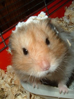 Hamster Cage Cleaning Made Easier Thriftyfun