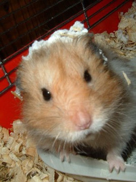 snoopy the hamster