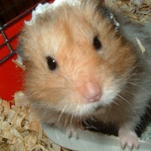 Close up of hamster in cage