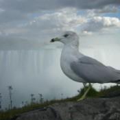 Wildlife: Gull (Niagara Falls, Canada)