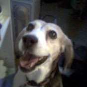 Bailey - a purebred Beagle
