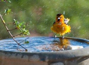 A bullocks oriole taking a bath.