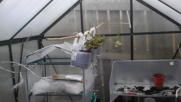 Growing Strawberries In A Greenhouse Thriftyfun