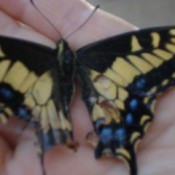 Hand holding a Butterfly