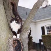 Little Man Tuxedo Cat