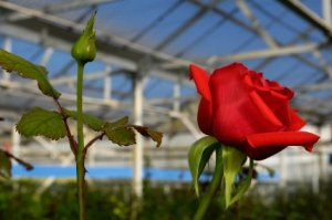 Red Rose in Greenhouse