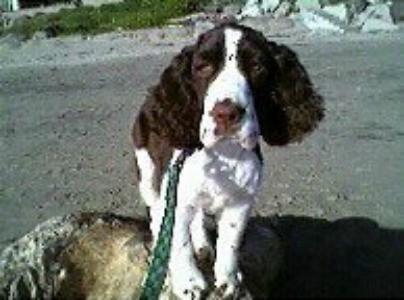 Louie (English Springer Spaniel)