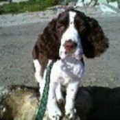 Louie (English Springer Spaniel)
