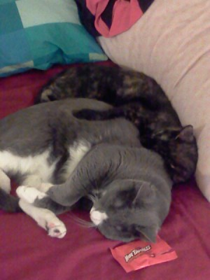 Tortie and gray cat sleeping together.