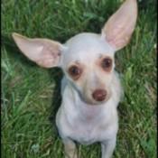 Twinkle (Chihuahua)
