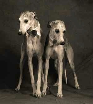Whippet Breed Info