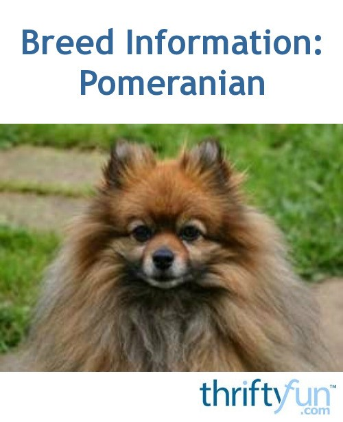 pomeranian intelligence breed information pomeranian thriftyfun 3689