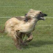 Afghan Hound Breed Info