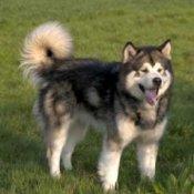 Alaskan Malamute Breed Info
