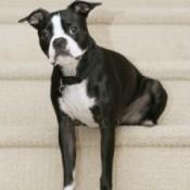 Boston Terrier Breed Info