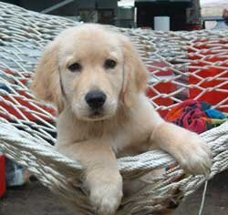 Socializing Your Dog, Puppy in a hammock.