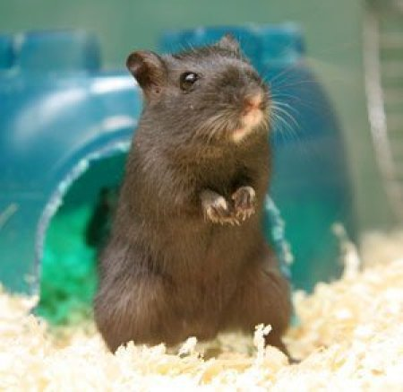 Caring for Gerbils, Gerbil in it's cage.