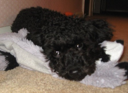 Nelson (Toy Poodle) lying on the floor.