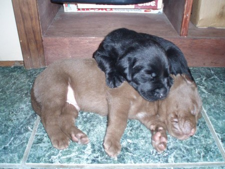 Bam-Bam and Pebbles (Labrador Mix)
