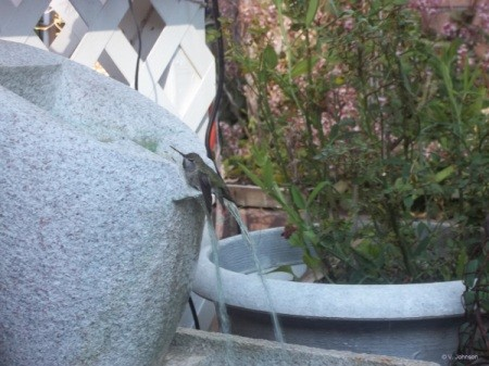 humming bird bathing 2