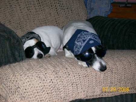 Corona and Abby (Jack Russel and Rat Terrier/Springer)