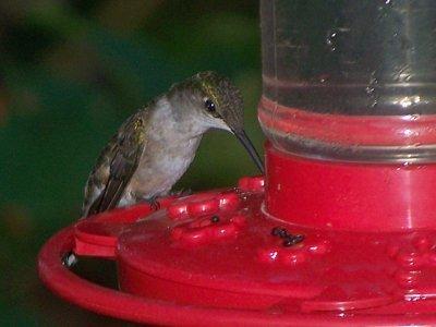 A hummingbird at a feeder.
