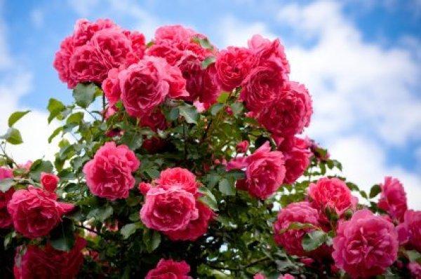 Buying Rose Bushes Thriftyfun
