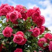 Buying Rose Bushes